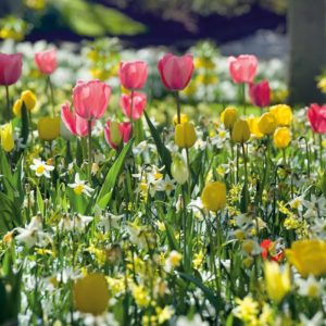 Frühlingsblüher / Stiefmütterchen
